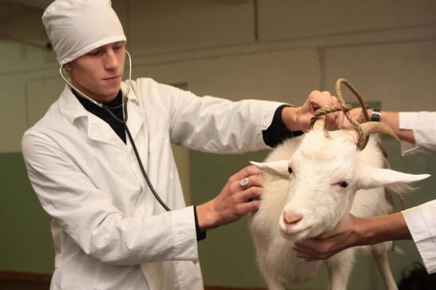 Начинающим ветеринарам региона, поступающим работать в госучреждения, компенсируют молодость